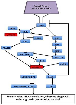 MTOR inhibitors - Signaling pathway of mTOR