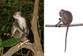 Macaca fascicularis (11662364804).jpg
