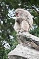 Macaca fuscata in Ueno Zoo 2019 34.jpg