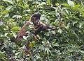 Macaco prego comendo.jpg