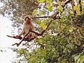 Macaque de Gibraltar (Macaca sylvanus) (03).jpg
