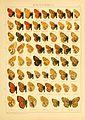 Macrolepidoptera01seitz 0143.jpg