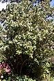Madeira, Palheiro Gardens - Drimys winteri (Canelo) IMG 2292.JPG