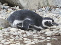 Magellanic Penguin at SF Zoo 7.JPG