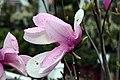 Magnolia Jane 9zz.jpg