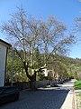 Malá Chuchle, Zbraslavská, strom u ulice V uličce.jpg