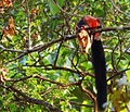 Malabar Giant Squirrel.JPG