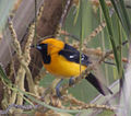 Male Hooded Oriole (4355042024).jpg