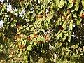 Mallotus philippensis fruits 5358.jpg
