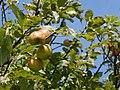 Malus sylvestris fruit, Vosseslag.jpg
