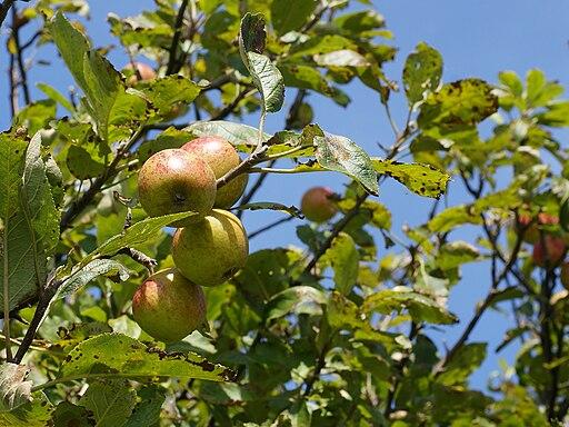 Malus sylvestris fruit, Vosseslag