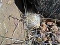 Mammillaria guelzowiana (5729945742).jpg