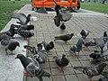 Manchester Pigeons - geograph.org.uk - 1076129.jpg