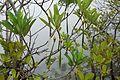 Mangrove - 02078.jpg