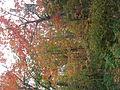 Maples (4998908760).jpg