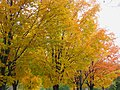 Maples in fall colours, Dutchy.s Hole, Ottawa.jpg