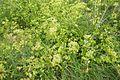 Marais salants de Guérande-Végétation.jpg