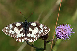 Marbled white butterfly (Melanargia galathea) female.jpg