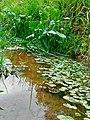 Margem do córrego na estrada (portão 2) para a usina Edgard de Souza. Detalhe da vegetação e fauna (girinos) na água.jpg