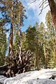 Mariposa Grove, Yosemite National Park (5637226450).jpg
