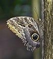 Mariposa búho (Caligo eurilochus), Jardín Botánico de Múnich, Alemania, 2013-01-27, DD 03.JPG