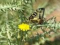 Mariposa rey libando un diente de león (425795845).jpg