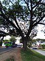 Markanter Baum in Cali 01.jpg