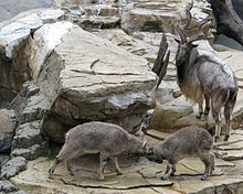 Markhor Male and youngs.jpg