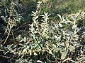 Marrubium peregrinum sl14.jpg