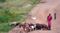 Masai con su rebaño.png