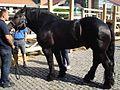 Međimurski konj (Croatia) - pastuh.jpg
