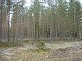 Mežs pie Ķurbes kapiem, Dundagas pagasts, Dundagas novads, Latvia - panoramio.jpg