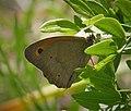 Meadow Brown, Maniola jurtina (44859827641).jpg