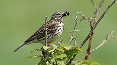 Meadow Pipit (Anthus pratensis) (10).jpg