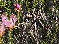 Melaleuca bisulcata (fruits).JPG