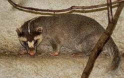 Melogale moschata (male) Praha zoo 02.2011 01.jpg