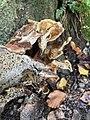Meripilus giganteus 100633236.jpg