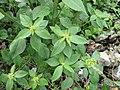 Mexican fireplant (Euphorbia heterophylla).jpg