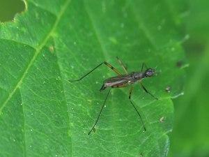 File:Micropeza corrigiolata - 2013-06-03.webm