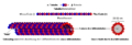 Mikrotubula007 de.png