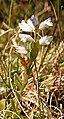 Milkwort (Polygala vulgaris) - geograph.org.uk - 472791.jpg