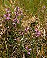 Milkwort (Polygala vulgaris) - geograph.org.uk - 473333.jpg