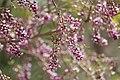 Milletia peguensis 6.jpg