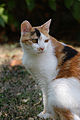 Minou calico cat.JPG