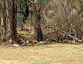 Mob of Red Kangaroos (Macropus rufus).jpg