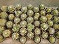 Mobarakabad, Qom-Cactaceae in Iran گلخانه کاکتوس، روستای مبارک آباد قم 30.jpg