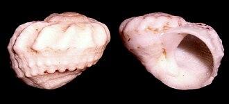 Modulus (gastropod) - Two views of a beachworn shell of Modulus tectum