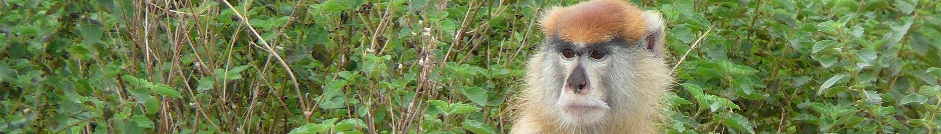 Mole National Park banner Patas Monkey.JPG