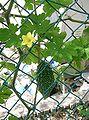 Momordica charantia1.jpg