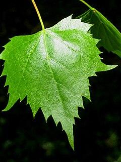 <i>Tilia mongolica</i> species of plant